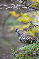 Spruce grouse, Katmai National Park, Alaska.