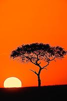 Single Acacia tree shilhouetted at sunrise, Masai Mara, Kenya