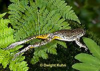 FR10-606z  Gray Treefrog jumping, Hyla versicolor