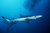 Divers (MR) a shark cage and a blue shark, Prionace glauca, several miles off the coast of California, USA.