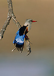 Colors of the Tarangire - Grey-headed Kingfisher (Halcyon leucocephala), Tarangire National Park, Tanzania..#PRINT-2834.00