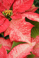 Poinsettia 'Monet Twilight' Euphorbia pulcherrima red foliage flower bracts, Christmas plant