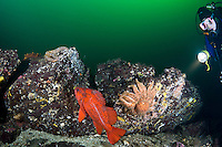 Scuba Diver observes a Vermilion rockfish ( Sebastes miniatus) and a Sunflower Star ( Pycnopodia helianthoides) underwater in Saanich Inlet, British Columbia, Canada.