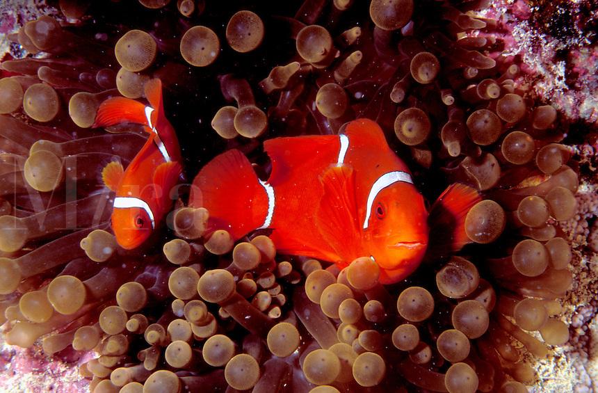 Australia, Great Barrier Reef, Clownfish (Anemonefish)