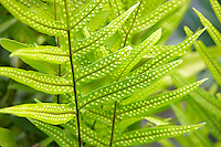 Close up of fern plant showing spores. Maui. Hawaii
