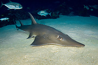 Whitespotted shovelnose ray, Rhynchobatus djiddensis, also known as the white spotted guitarfish, shark ray, shovelnose shark, giant guitarfish and sharkfin ray.