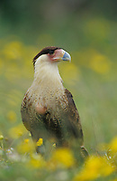 Crested Caracara, Caracara plancus,immature in wildflowers, Willacy County, Rio Grande Valley, Texas, USA, May 2004