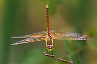362700008 a wild male band-winged meadowhawk sympetrum semicintum perches on a plant stem near warm springs south of bishop inyo county california united states