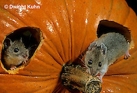MU59-029z  White-Footed Mouse - on Jack-o-lantern -  Peromyscus leucopus