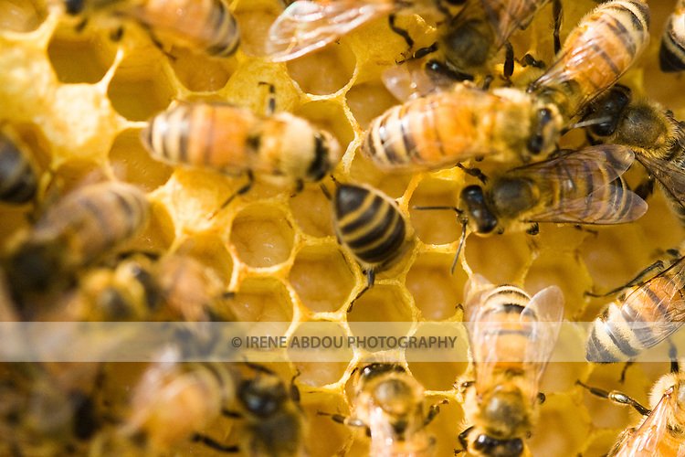 A drone cell is uncapped, showing the drone pupae (white).  In beekeeping, the cells on a frame of comb are used to rear brood (the capped cells in the photo), as well as to store honey, nectar (dark liquid) and pollen (orange and yellow solid).  These bees are kept by Michael and Jean Higgs, local beekepers in Silver Spring, Maryland.