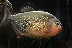 Red Belly Piranha in an aquarium looking fierce