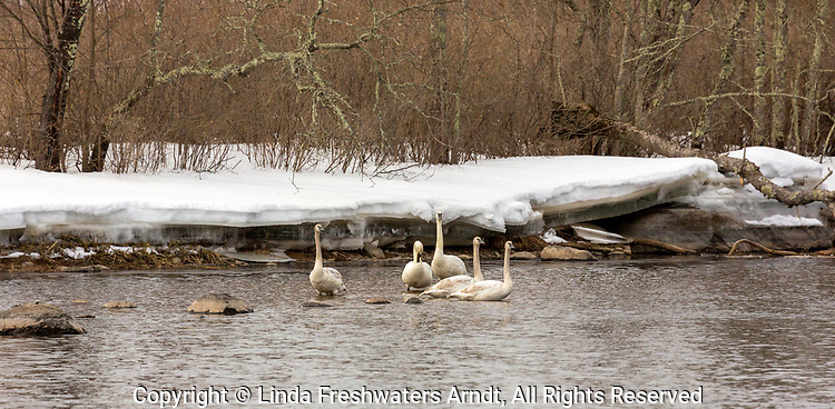 Trumpeter swan on the Chippewa River in northern Wisconsin