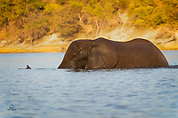 Big bull Elephant (Loxodonta africana) uses his trunk as a snorkel as he crosses the river. He was almost fully submerged at one point, and his destination was a rich patch of aquatic plants.