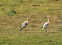 Stock photo: Pair of painted stork in grassland at Khijadiya Bird Sanctuary, India. Image is available for Editorial/Non-commercial Use Only.<br /> <br /> The Khijadiya Bird Sanctuary is a must visit place in Gujarat, India for birdwatchers and nature students alike. <br /> <br /> It's a one of a kind wonder of ecology and warmly provides a safe haven for about 300 Migratory birds every year.