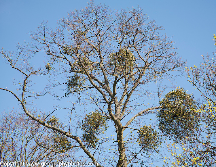 Bunches of mistletoe, Viscum album, growing in tree against blue sky, Suffolk, England