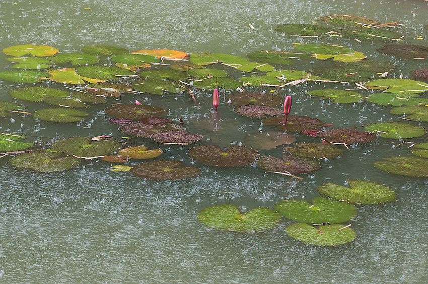 Giant decaying leaves from the Water lilies with water droplets creating nice abstract pattern and textures during the Monsoon Season in North Vietnam, near Ninh Binh.