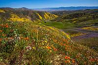 California spring wildflower superbloom, Carrizo Plains National Monument, California