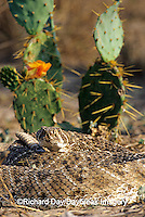 02905-001.20 Western Diamondback Rattlesnake (Crotalus atrox) Starr Co. TX