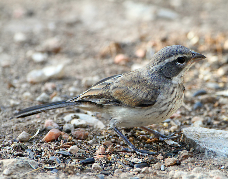 Juvenile black-throated sparrow