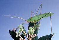 Gemeine Sichelschrecke, Phaneroptera falcata, Sickle-bearing Bush-cricket, Sickle-bearing Bush cricket, Phanéroptère commun, Sichelschrecken, Phaneropterinae, Tettigoniidae