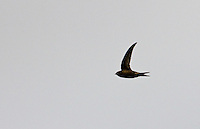 Migrating swift, Apus apus, soaring in the sky in Gloucestershire, UK