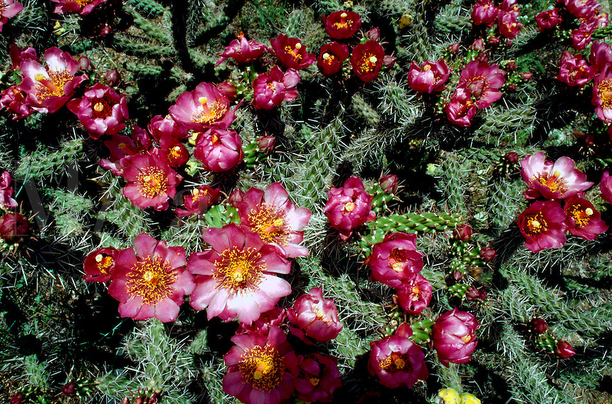 Detail of a Cholla cactus (Cylindropuntia) in spring bloom. Arizona.