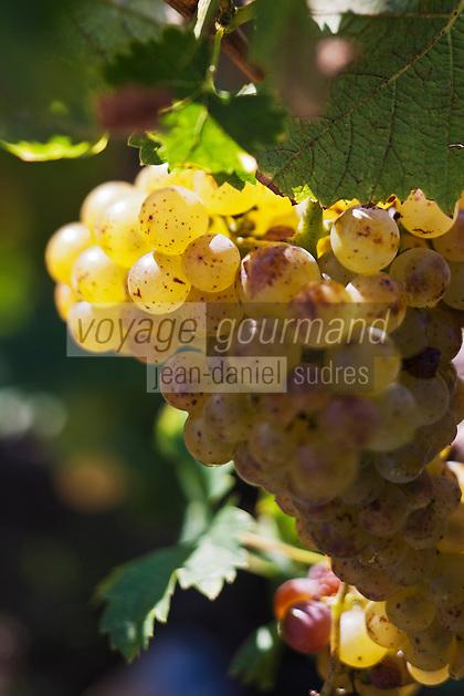 Europe/France/Corse/2B/Haute-Corse/Cap Corse/Patrimonio: Vendanges manuelles au domaine Orenga de Gaffory