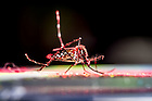 August 1, 2016; Aedes aegypti mosquito with red powder to mark the animal in a behavior test. (Photo by Matt Cashore/University of Notre Dame)