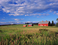 Latah County, ID<br /> Afternoon light on red gambrel roofed barn and two accompanying out buildings, near Potlatch