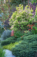 "Cotinus coggygria ""Golden Spirit' (Smoke Bush)  bordering hillside path Albers Vista Gardens"