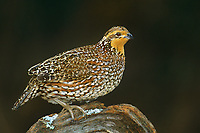 509250027 a wild female northern bobwhite colinas virginianus stands on a lichen-covered mesquite log in the rio grande valley of south texas