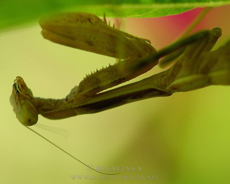 Mantis under leaf, Close portrait, California Mantis female, Stagmomantis californica, Praying Mantis, Southern California