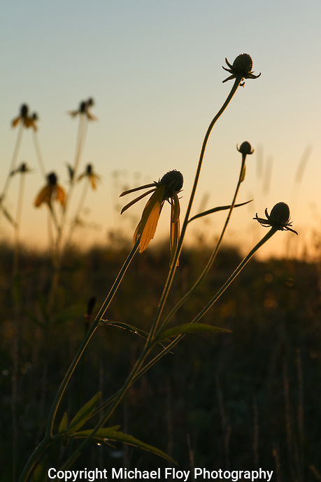 Cone Flowers in morning sunlight at Hayden Prairie State Preserve.