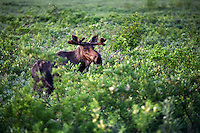 Moose, Cordova, Chugach National Forest, Alaska.