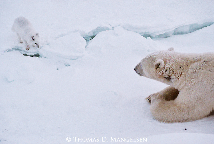 A polar bear lays and watches an arctic fox.