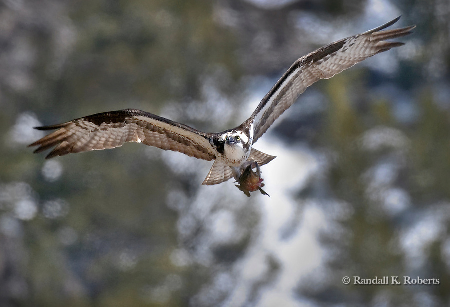 An osprey, Pandion Haliaetus, flies with a trout in its talons.  The osprey caught the fish in the Madison River in Yellowstone National Park and took it to a tree top to eat it.