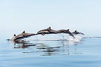 short-beaked common dolphin, Delphinus delphis, jumping, leaping, Mexio, Gulf of California, Sea of Cortez, Pacific Ocean