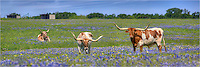 From a patchy bluebonnet field in Ennis, Texas, comes this bluebonnet panorama with Texas longhorns. The regal creatures had this Texas Wildflower field all to themselves as they wanders peacefully in the morning sun. They looked at me briefly, then went about their business while the cowbirds followed them around.