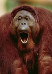 Bornean Orangutan, Borneo, Indonesia
