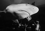 Grey Reef Shark, Carcharhinus amblyrynchus, and videographer, Apataki Atoll, Tuamotus, French Polynesia, Pacific Ocean
