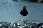 ALASKA, Black oystercatcher, guarding territory, Haematopus bachmani, , British Columbia, Washington State, Pacific Northwest coasts.
