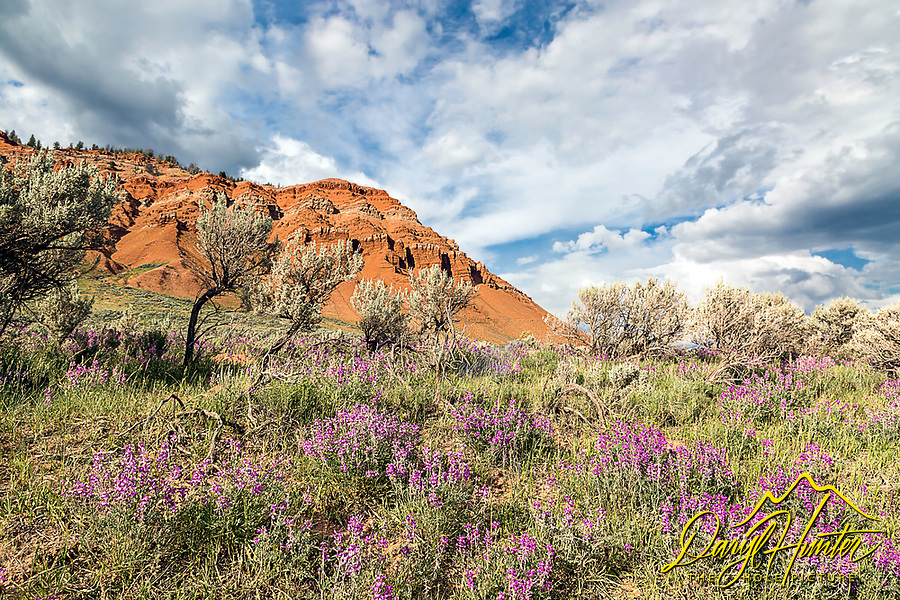Blooming desert, Gros Ventre Valley Wyoming.  This bit of badlands is east of Jackson Hole Wyoming.