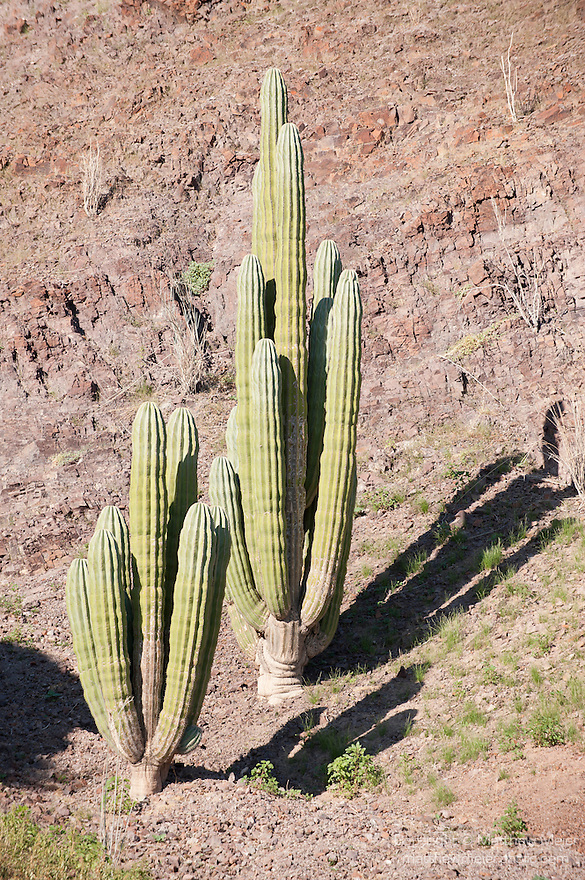 Sea of Cortez, Baja California, Mexico; several large Cardon Cactus (pachycereus pringlei) grow on the rocky hillside of Angel Island, the Cardon Cactus is nearly endemic to Baja California and is the world's largest cactus