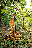 BELIZE, Punta Gorda, Toledo District, Justino Peck harvesting Cacao in his farm in the Maya village of San Jose