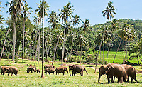 Elephants grazing amongst palm trees. (Photo by Matt Considine - Images of Asia Collection)