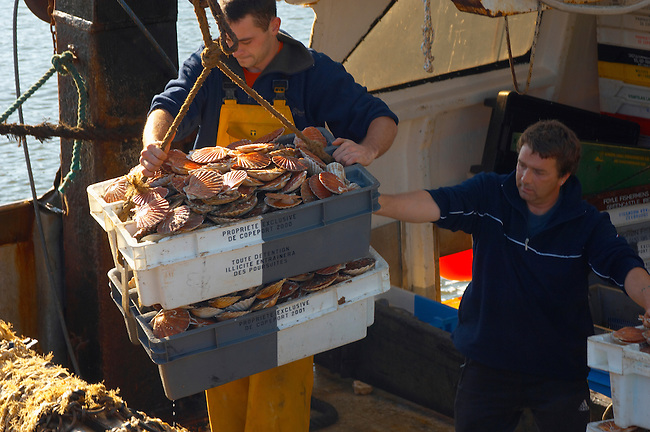 Fishermen landing fresh Scallops in shells being landed in boxes from a fishing trawler . Honfleur - France.