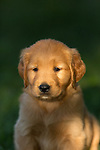 Goldern retriever puppy