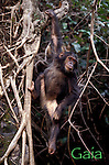 7 yr. old Gaia hangs from a strangler fig for a better view of the forest<br /> Eastern female chimpanzee (Pan troglodytes schweinfurthii)<br /> Gombe National Park, Tanzania, East Africa  2000