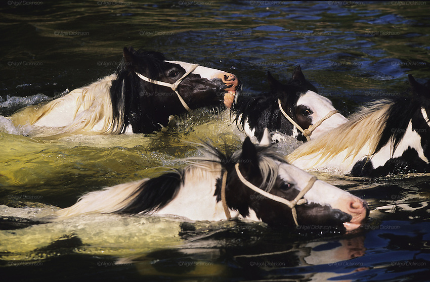 Piebald Gypsy horses swimming in the river. The horses are washed in the morning, to be sold in the afternoon.  The annual Appleby Gypsy Horse fair and festival. Cumbria, England June 1998