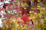 Autumn foliage at Don Castro Regional Recreation  Area